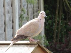 Friday, Collared dove IMG_8247 (tomylees) Tags: morning sunshine garden spring may friday essex 27th collareddove 2016