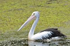 Australian Pelican (Pelecanus conspicillatus) (shaneblackfnq) Tags: north australian pelican swamp queensland tropical cairns billabong far tropics fnq pelecanus conspicillatus shaneblack