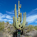 Up close and personal with giant saguaro