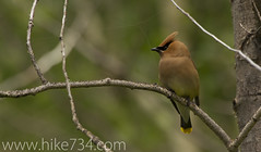"Cedar Waxwing • <a style=""font-size:0.8em;"" href=""http://www.flickr.com/photos/63501323@N07/6419946409/"" target=""_blank"">View on Flickr</a>"