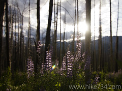 "Lupine in the burned forest • <a style=""font-size:0.8em;"" href=""http://www.flickr.com/photos/63501323@N07/6420042173/"" target=""_blank"">View on Flickr</a>"