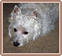 "11/12B ~ Riley ~ ""Home Again"" (ellenc995) Tags: riley westie westhighlandwhiteterrier groomer coth supershot pet100 platinumheartaward rubyphotographer 100commentgroup coth5 naturallywonderful 12monthsfordogs 5wonderwall missedyouriley"
