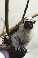 Talking tamarins (barbarajchin_rd) Tags: animals zoo prospectparkzoo tamarins