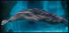 Beluga (Jose Luis Picazo) Tags: water valencia animal agua beluga acqua vacaciones acuario eventos acuarium yulka