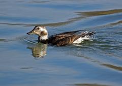Female Long-tailed Duck (Clangula hyemalis) (Douglas Caldwell) Tags: toronto ducks lakeontario waterfowl longtailedduck clangulahyemalis humberbay