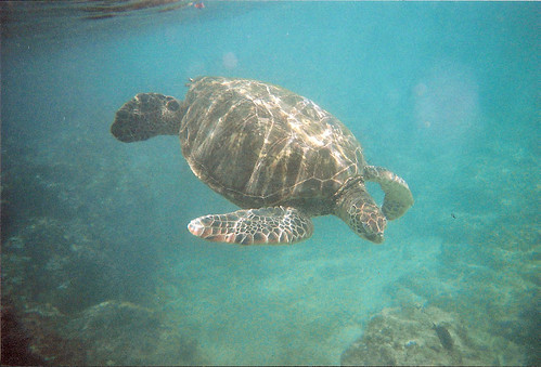 ocean film water beautiful swimming 35mm hawaii underwater turtle wildlife magic maui snorkeling turtles underwatercamera naturalhabitat inthewild