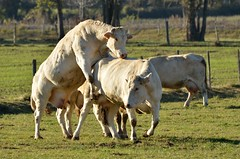 Day 283 / Cows horsing around (Josh Thompson) Tags: cows funnybusiness 70300mmf4556gvr d7000 fenieres