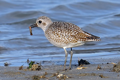 Black-bellied Plover With Worm (Brian E Kushner) Tags: new black birds animals nikon wildlife nj belly jersey brigantine f4 plover forsythe bellied birdwatcher forsythenwr pluvialissquatarola blackbelliedplover 600mm nikor forsythenationalwildliferefuge d3x oceanville afsnikkor600mmf4gedvr nikond3x bkushner brianekushner nikon600mmf4afsvr