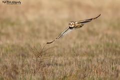 Short-eared Owl. Asio flammeus. hunting. (Nigel Blake, 13 MILLION...Yay! Many thanks!) Tags: nature birds canon photography wildlife hunting owl blake nigel ornithology asio shorteared flammeus slbhunting