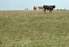 PSST.....DAMIAN HIRST IS ON HIS WAY  -  (Selected by GETTY IMAGES) (DESPITE STRAIGHT LINES) Tags: field grass cow nikon cows moo eastbourne herd beachyhead damianhirst d700 nikond700 nikkor75300mmbovine ilobsterit