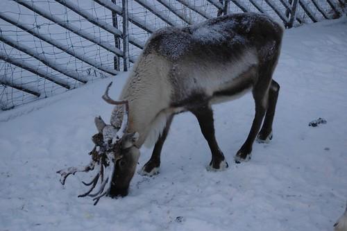 111208_Lappland_315