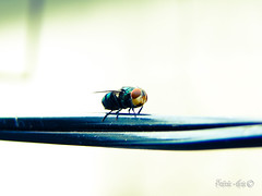 :O (TevoMota) Tags: macro brasil sony bullseye es mota dsc mosca santo esprito lightroom pinheiros varejeira estvo hx1 tevomota