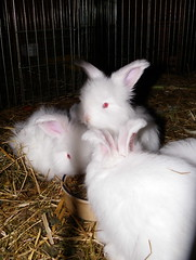 Fifis kits (ixchelbunny) Tags: pet pets rabbit bunny bunnies fun chocolate angora ixchel rew ixchelbunny