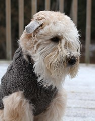 Finnegan's new sweater... (2 more in comments) (milikin) Tags: dogsweater softcoatedwheatenterrier scwt organicwooldogsweater