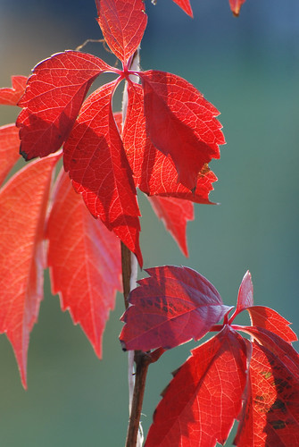 Red Leaves #2 ©  akk_rus