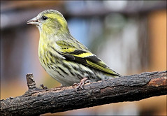 Siskin female - 2012 (Judy's Wildlife Garden) Tags: female judykennett knightonpowys sweetsiskin
