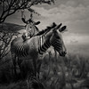 Striped Pair (~ superboo ~ [busy busy]) Tags: california blur hall african pair fake academy sciences striped zebras savanna realistic tiltshift
