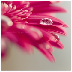 Pink Gerbera (Samantha Nicol Art Photography) Tags: pink flower macro art nature water square focus dof bokeh bubbles gerbera droplet samantha nicol