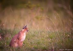 _DSC8267.jpg (Gregor Bergquist) Tags: kenya wildlife caracal masaimara karakal sopaarea