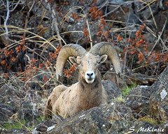 Bighorn Stare (S McKinzie / McKustoms) Tags: nature animals canon wildlife rams nationalgeographic bighornsheep oregonwildlife bowhunter oregonhunter oregonbighornsheep