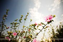 Mugunghwa, Incheon, Korea (Seven Seconds Before Sunrise) Tags: travel sky plant flower clouds flora asia korea roseofsharon southkorea incheon hibiscussyriacus mugunghwa shrubalthea rosealthea