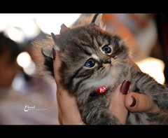 O r  o  (3    d ) Tags: cute cat nikon kitten oreo    3houd ohoud