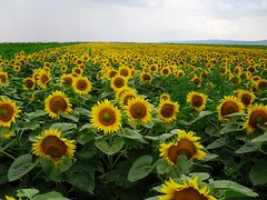 Bring me sunshine! (Ramona R***) Tags: flowers sky flores green field yellow fleurs jaune landscape cloudy amarillo sunflowers romania sunflower campo fiori soe tournesol girasol champ prahova roumanie sunflowerfield champdetournesols campodegirasoles