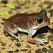 2010 AHS Spring Field Trip - Hurter's Spadefoot Froglet