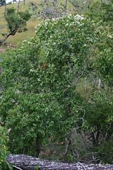 Backhousia tetraptera Myrtaceae Mt Stuart Mystery Tree 13-01-12 01 (John Elliott Townsville) Tags: mt stuart myrtaceae arfp backhousia qrfp arfflowers whitearfflowers tropicalarf uplandarf dryarf mysterytreegenusnovmtstuart backhousiatetraptera
