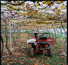 葡萄園  Vineyard (Chieh-Yu) Tags: film taiwan hasselblad 南投 台灣 nantou shinyi 信義 攝團 facebookimpro