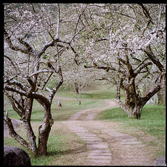 Plum Blossom garden (Chieh-Yu) Tags: film taiwan hasselblad   nantou shinyi   facebookimpro