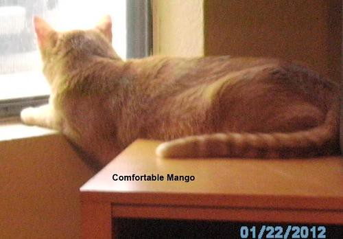 A very comfortable cat called Mango
