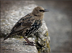 STARLING (1ST WINTER PLUMAGE) (Shaun's Nature and Wildlife Images....) Tags: starlings shaund