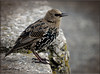 STARLING (1ST WINTER PLUMAGE) (Shaun's Wildlife Photography) Tags: starlings shaund