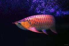 Super Red Asian Arowana Fish [C Huyt Long] (-clicking-) Tags: lighting blue light red fish nature water animals asian eyes asia waves dof natural bokeh ngc npc fin buble superred arowanafish bestcapturesaoi chuytlong