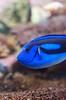 Blue Fish (Lauren Barkume) Tags: africa blue vacation portrait fish color coral southafrica aquarium december underwater ct capetown reef westerncape 2011 laurenbarkume gettyimagesmeandafrica1