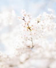Cherry Blossom Miyajima (lensman82) Tags: travel white color tree nature japan flora asia blossom hiroshima miyajima attributes chugoku