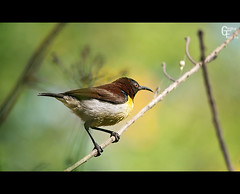 Purple-rumped Sunbird (Giridhar-Photography) Tags: sun india bird nature colors birds colorful purple natural indian bangalore hebbal karnataka bg sunbird rumped purplerumped