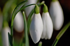 Snowdrops (DaveJC90) Tags: light sun sunlight white blur flower colour detail macro green yellow closeup wow early petals spring stem focus head sunny sharp petal snowdrops bud supermacro snowdrop autofocus sharpness wow1 wow2 wow3 wow4 wow5 excellentsflowers blinkagain flickrstruereflection1