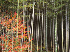 Bamboo Forest, Japan (Yitchie) Tags: japan forest landscape slide bamboo scan kodachrome bambooforest scannedtransparency asianflora denisemcdonald
