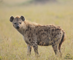 Spotted Hyena Female Portrait, Masai Mara (Glatz Nature Photography) Tags: africa morninglight kenya hyena masaimara spottedhyena
