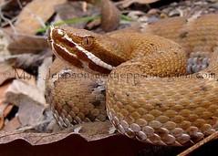 Ridge-nosed Rattlesnake - Santa Cruz, AZ (zoom) 8-12-09 cropcol (Matt Jeppson) Tags: