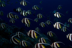 bannerfish school (kozyndan) Tags: fish coral underwater scuba diving png reef papuanewguinea bannerfish easternfields carlsultimate