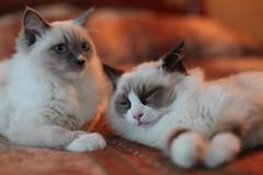 Nefertari & Imhotep (insomniac 2.0) Tags: cats kittens ragdoll