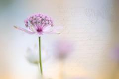A Little Flower (Jacky Parker Floral Art) Tags: flower art texture nature floral horizontal closeup landscape flora creative single bloom softfocus orientation astrantia masterwort frenchkisses floralessence