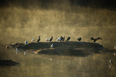 Sharing (The Suss-Man (Mike)) Tags: seagulls mist reflection bird nature water birds animal fog river day foggy cormarant chattahoocheeriver thesussman westpointdam sonyalphadslra550