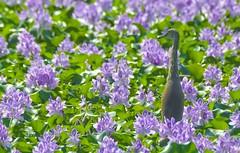The Gardner (challiyan) Tags: amazing superb crane awesome kerala awsome mice stunning egret cochin kochi cultural brilliance talented thrissur trichur keralam vipin allepey awesom bestphotos graet greatshots greatpictures picturesforsale topphotos stuning awesomepics awespme specialphotos siperb challiyan chalksy vipincp waterhyazinth camerockscom camerocks brilliantshots