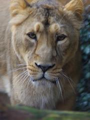 610-11L (Lozarithm) Tags: bristol sigma bigcats bristolzoo kx 70300 justpentax flickrbigcats