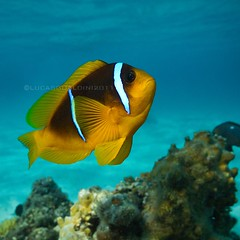 clownfish closeup (wild friday) Tags: nature closeup ambientlight redsea clownfish ambient bluelagoon pagliaccio marsaalam floriana marrosso ewamarine sgualdini