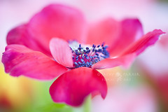 Softly Spring (Jacky Parker Photography) Tags: red flower art nature floral horizontal garden landscape one spring flora creative anemone single bloom flowering softfocus orientation windflower decaen floralessence